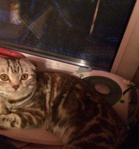 Кошка вислоухая шотландская+🎁