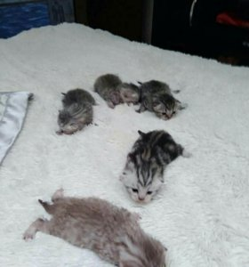 Шатланские котята родились 28.11.2017 .