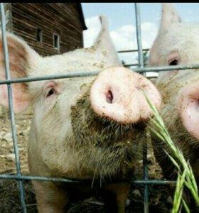 Мясо свинины или живым весом (срочно)!
