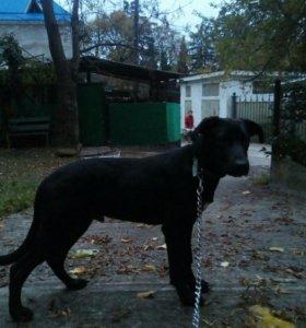 Собака- щенок помесь пойнтера хорошая охрана дома