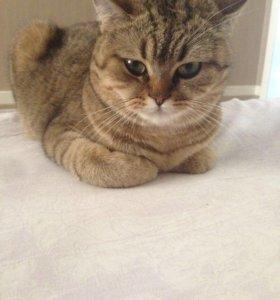 Кошка шотландской породы
