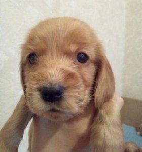 Продам щенков английского кокер спаниеля