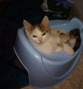 Котенок . Мальчик, приучен к туалету. Умный.