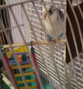 Попугай с приданным