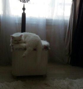 Экзот кошечка, нужен котик для вязки