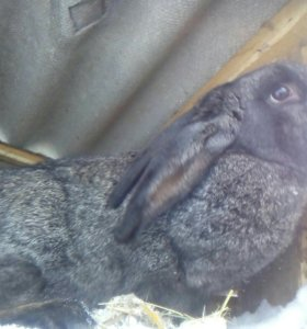 Кролики на племя