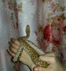 Змея тигровый питон гипо
