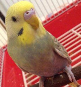 Радужный волнистый попугайчик мальчик птенец