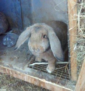 Кролики французский баран 6мес.