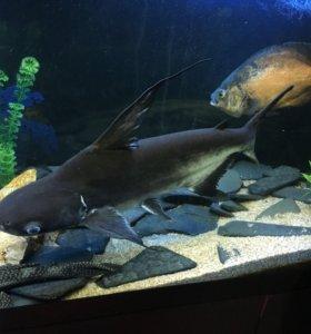 Акулий сом(Пангасиус) с высоким плавником,ХИЩНИК
