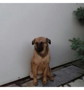 Добрейшая молодая собачка
