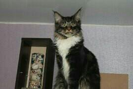 Красавчик Мейн-кун на вязку..так же есть котята .