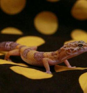 Леопардовый геккон (пятнистый эублефар)