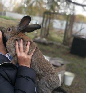 кролики породы великан