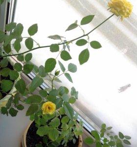 Роза в горшочках