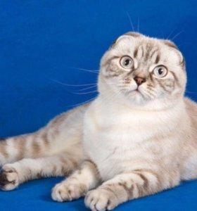 Кот эксклюзивного окраса на вязку