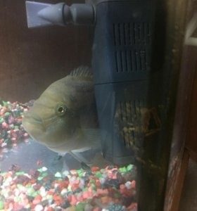 Рыбки Сальвини