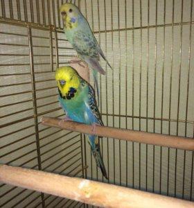 Продаю красивую пару волнистых попугаев с клеткой