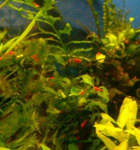 Красные креветки