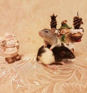 Крысы крысята дамбо цветные хасята