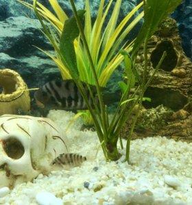 Рыбки Цихлазома!