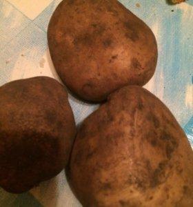Картошка вкусная крупная