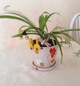 Цветы хлорофитум