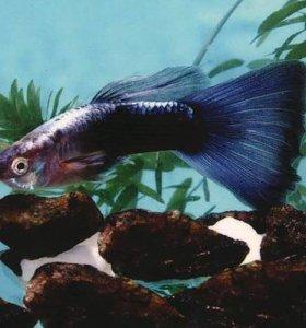 туркис синий хвост