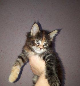 Кошечки мейн-кун