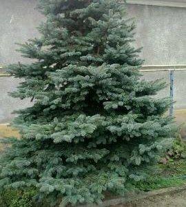 елка живая