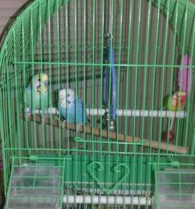 Волнистые попугайчики с клеткой .СРОЧНО!!!!