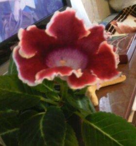 Цветок Глоксиния, детки.