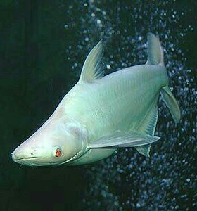 Акула белая 30см (военвед)