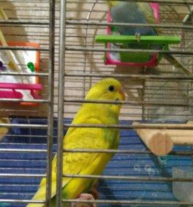 Птенчики  для обучения ,волнистый попугай.