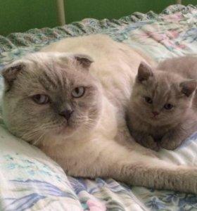 Продам взрослого шотландского кота и кошку
