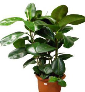 ФИКУС живое растение