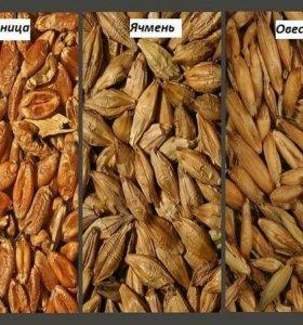 овес ячмень пшеница