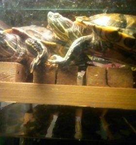 Две красноухие черепахи