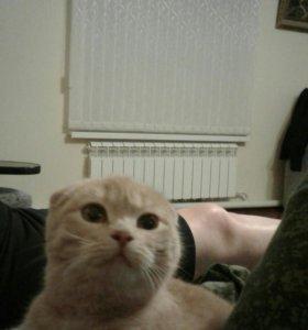 Веслоухо шатланская кошка