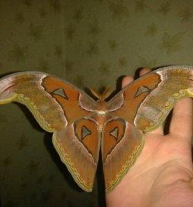 Живые тропические бабочки, салют из бабочек