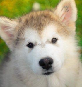 Сука/щенок Аляскинский Маламут.