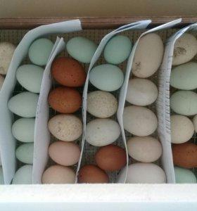 Инкубационное яйцо пасхальных и домашних кур.