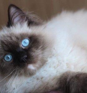 Котенок редкой породы регдолл