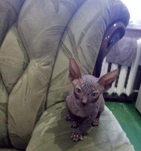 Кошки-сфинкс