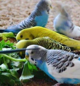Птенцы волнистых попугайчиков малыши