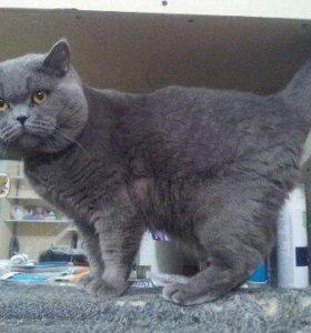 Вязка Шотландского (страйдового) кота