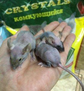 Мышки-египецкий сфинкс,,