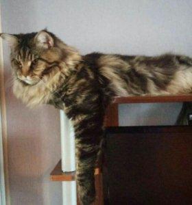 Мейн-кун.кот на вязку