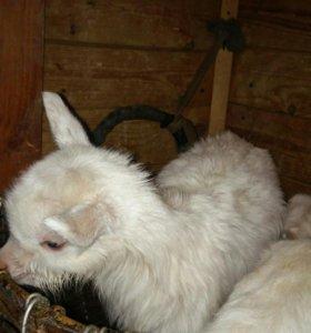 Козлята от молочных коз