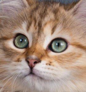 Очаровательные Сибирские Котята